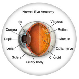 Learn about Eye Anatomy at New Westminster Optometry Clinic